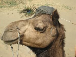 Meester Camel