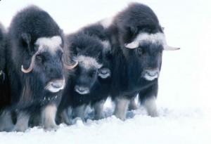 musk-oxen-norway