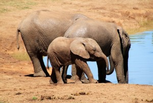 elephant-244185_640