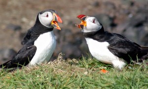 Atlantic_Puffins,_Scotland